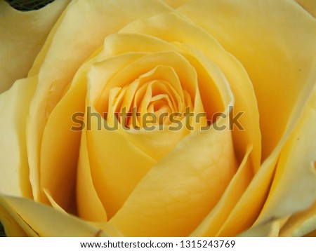Yellow Rose Close-Up Image