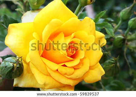 Yellow rose close up picture.
