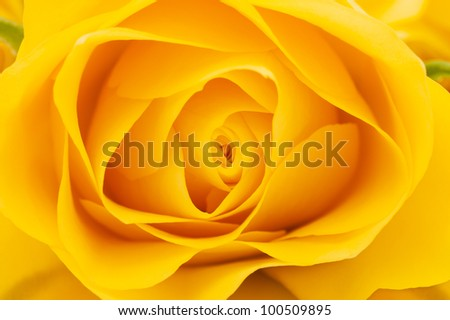 Yellow rose close-up shot, abstract floral background