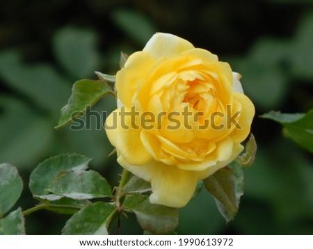 Yellow rose flower nature background Stock fotó ©