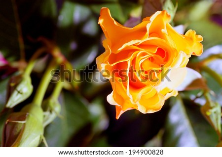 yellow rose green nature background