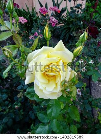 Yellow rose in Spanish garden #1402819589