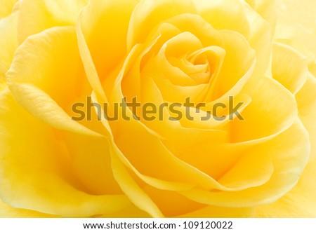 Yellow rose macro