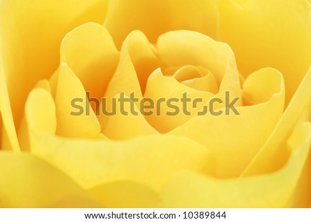 Yellow rose macro.  Soft focus with shallow dof perfect for background.