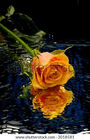 Yellow rose on blue background with water ripples