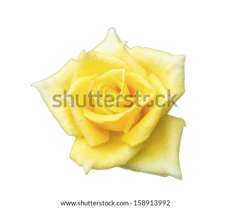 Yellow rose on isolate background
