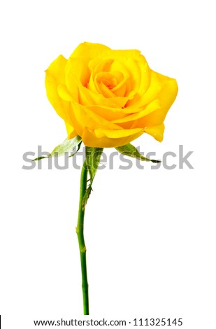 yellow rose on white background.