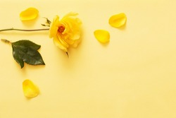 yellow rose on yellow background