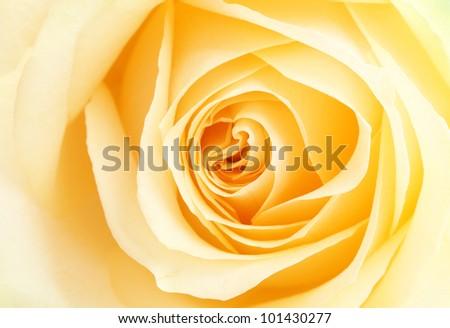 Yellow rose petals,Close up.