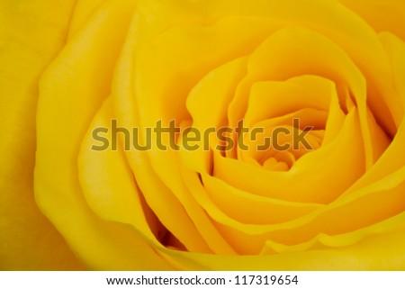 yellow rose petals close up