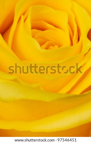 yellow rose petals close up