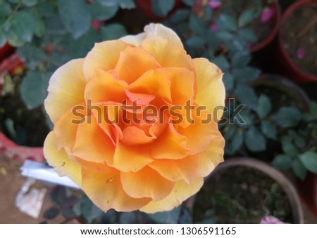 Yellow rose picture green background