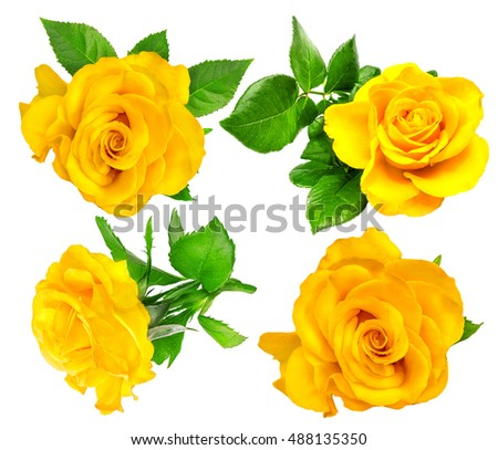 Yellow rose single isolated on white