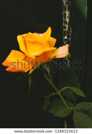 Yellow rose symbolizing friendship.This aesthetic picture can make you stare at it for eternity.