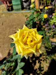 Yellow rose were discovered By the Europeans in Afganistan and sSoutheast Asia in the 18th century. This yellow rose means friendship, Joy, and caring. This rose has bright beauty yellow.