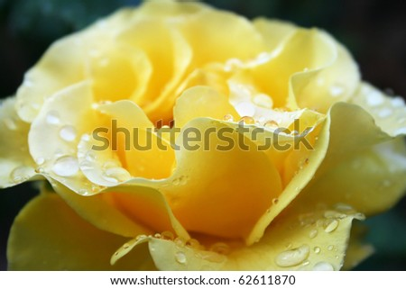Yellow rose with drops close up picture.