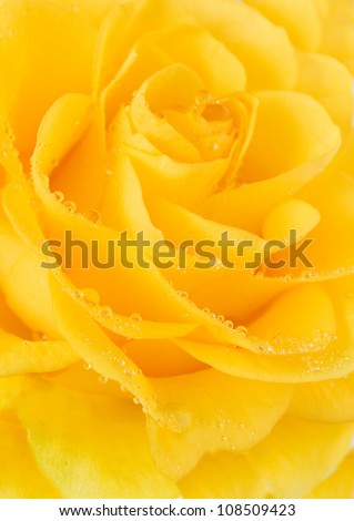 Yellow rose with water drops. Closeup