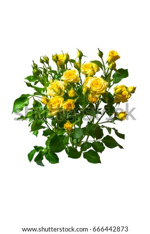Yellow roses bouquet isolated on white background. Greeting card #666442873