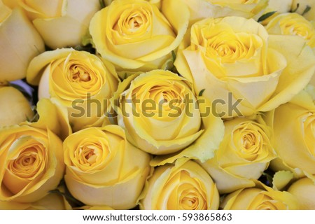 yellow roses close up for background