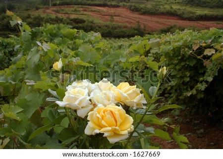 yellow roses in a vineyard, southern France