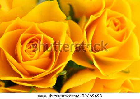 Yellow roses in full frame
