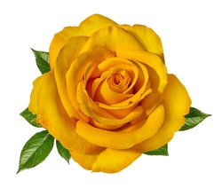 Yellow roses isolated on white background