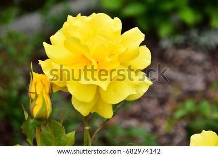 Yellow roses meaning bright cheerful and joyful create warm yellow roses meaning bright cheerful and joyful create warm feelings and provide happiness they mightylinksfo
