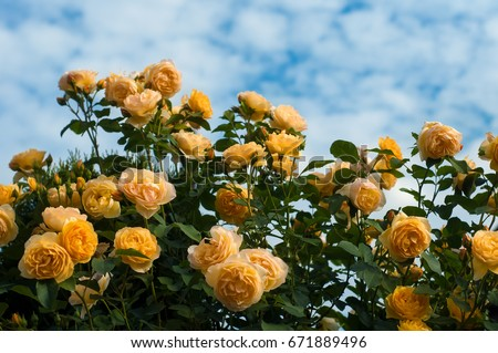 Yellow roses on the blue sky background. Yellow roses on a bush in a garden. Close-up of garden rose.