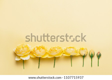 Yellow roses on yellow background. Flower evolution concept. Copy space for your text. Close up picture