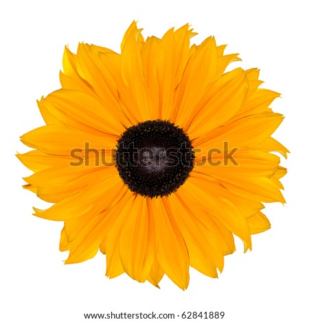 Yellow Rudbeckia Flower Abstract Isolated on White Background