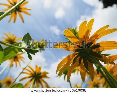 yellow Rudbeckia flowers on a meadow with pink flowers, cut-leaved coneflower