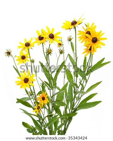 yellow rudbeckia on white background - stock photo