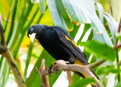 Yellow rumped bird named Cacique (latin name Cacicus cela) is hiding in the leafs of tropical tree. Small black bird with blue eyes and yellow wings is naturaly living in Brazil rainforest.