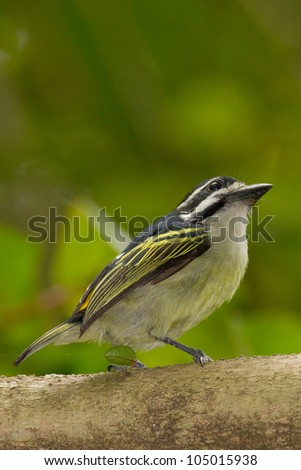 Yellow-rumped Tinkerbird perched on branch staring into coastal forest canopy