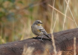 Yellow-rumped Warbler (Audubon's) perched on a rail fence