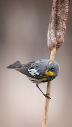 Yellow-rumped Warbler on a cattail