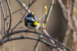 yellow-rumped warbler (Setophaga coronata) in spring