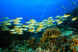 Yellow runner group swimming cross the reef