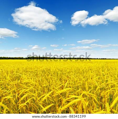 Yellow rye field. Autumn landscape.
