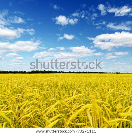 Yellow rye field. Autumn landscape. - stock photo