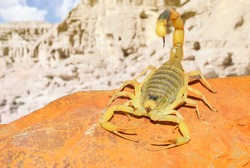 Yellow Scorpion on red sand stone with mountain of colored stony desert landscape in soft background. Close up.