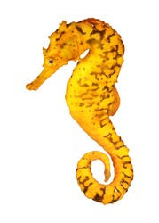 Yellow Seahorse isolated on white background. Tigertail Seahorse cutout