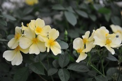 Yellow shrub English rose (Rosa) Tottering-By-Gently blooms on an exhibition in May