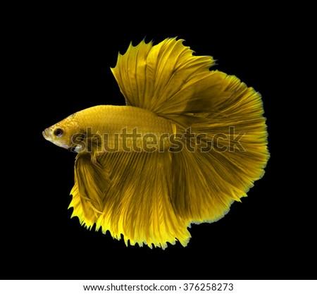 yellow siamese fighting fish halfmoon betta fish isolated on black