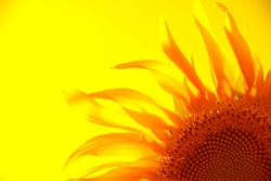 yellow silhouette of a flower of a sunflower on a gold background.