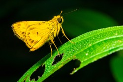 Yellow Skippers stop on a leaf that has been eaten by insects