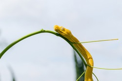 Yellow small snake on a green yard and wood branch