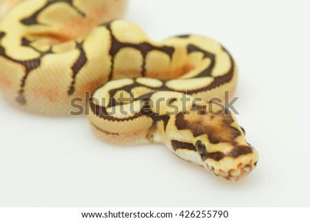 yellow snake. white snake. head of snake. python snake. baby python snake . snake on white back ground. Purple Albino Ball Python on white background.