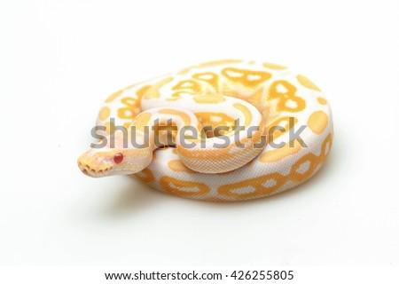 Shutterstock yellow snake. white snake. red eye snake. python snake. baby python snake . snake on white back ground. Purple Albino Ball Python on white background.