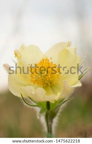 Yellow snowdrop, shot in macro, against the sky.  Macro shot.  Snowdrop or shot #1475622218
